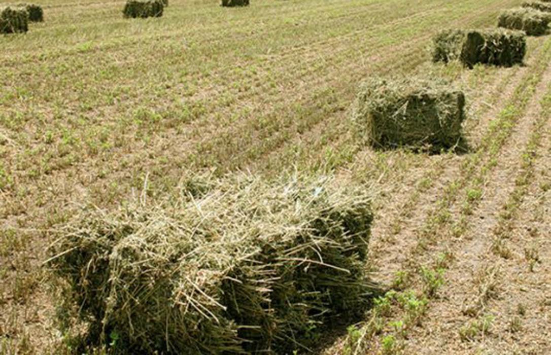 La recogida de más del 80% de la cosecha tanto de alfalfa como de forraje tira hacia abajo los precios