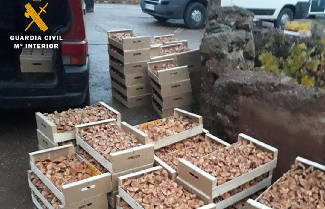 La Guardia Civil se incauta de casi media tonelada de rebollones recolectados sin permiso