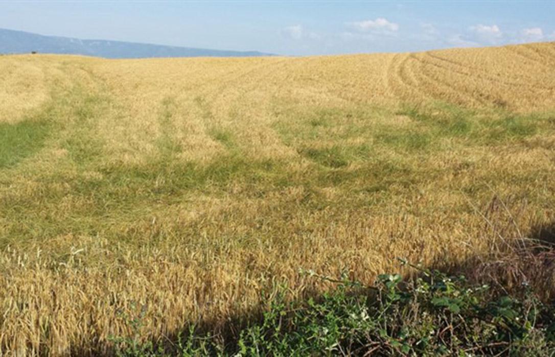 Nuevo futuro para los cereales: Encuentran un antioxidante natural del salvado que podría reemplazar a los sintéticos