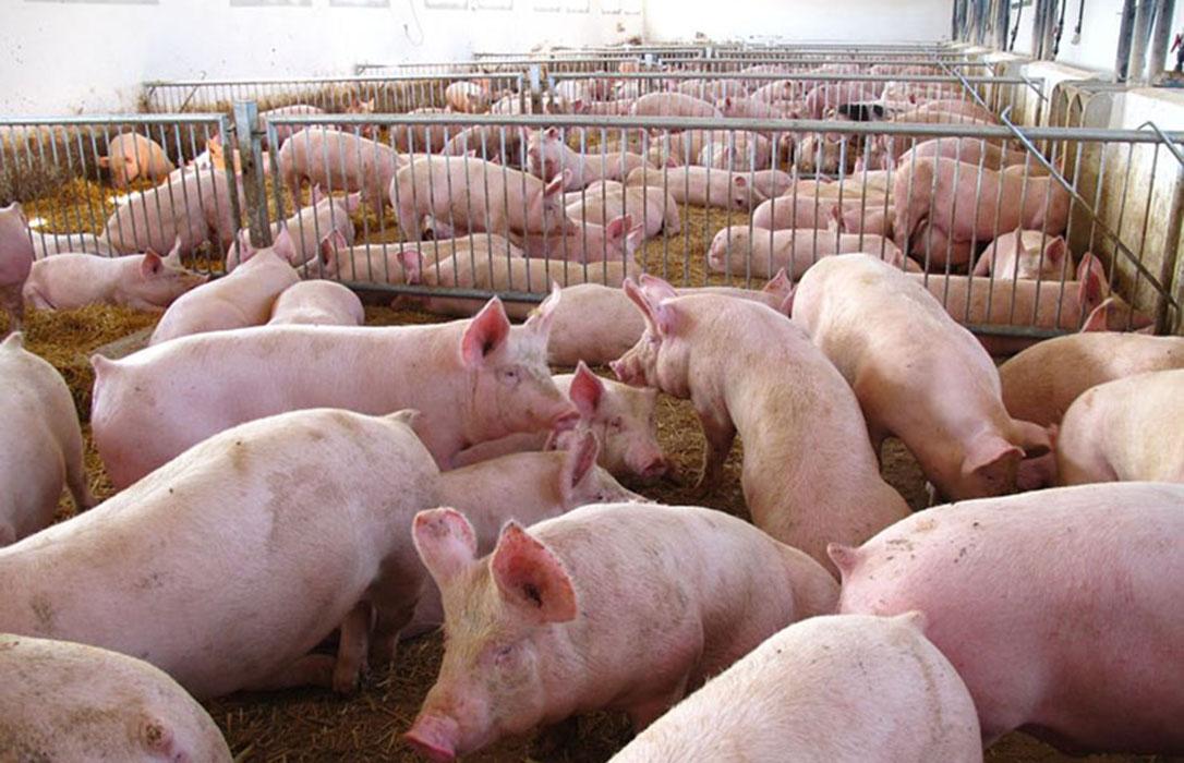 Castilla y León aprueba varios proyectos de macrogranjas porcinas por toda Segovia