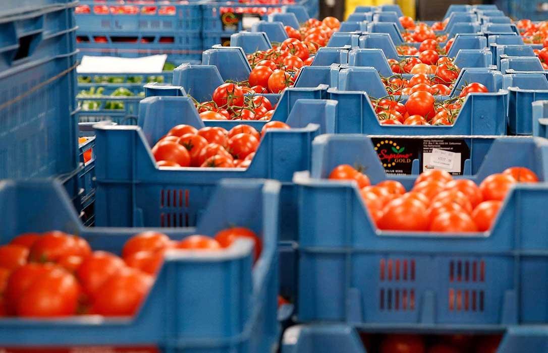 El contrabando y la reventa de tomate marroquí como de origen almeriense está arruinando a los horticultores