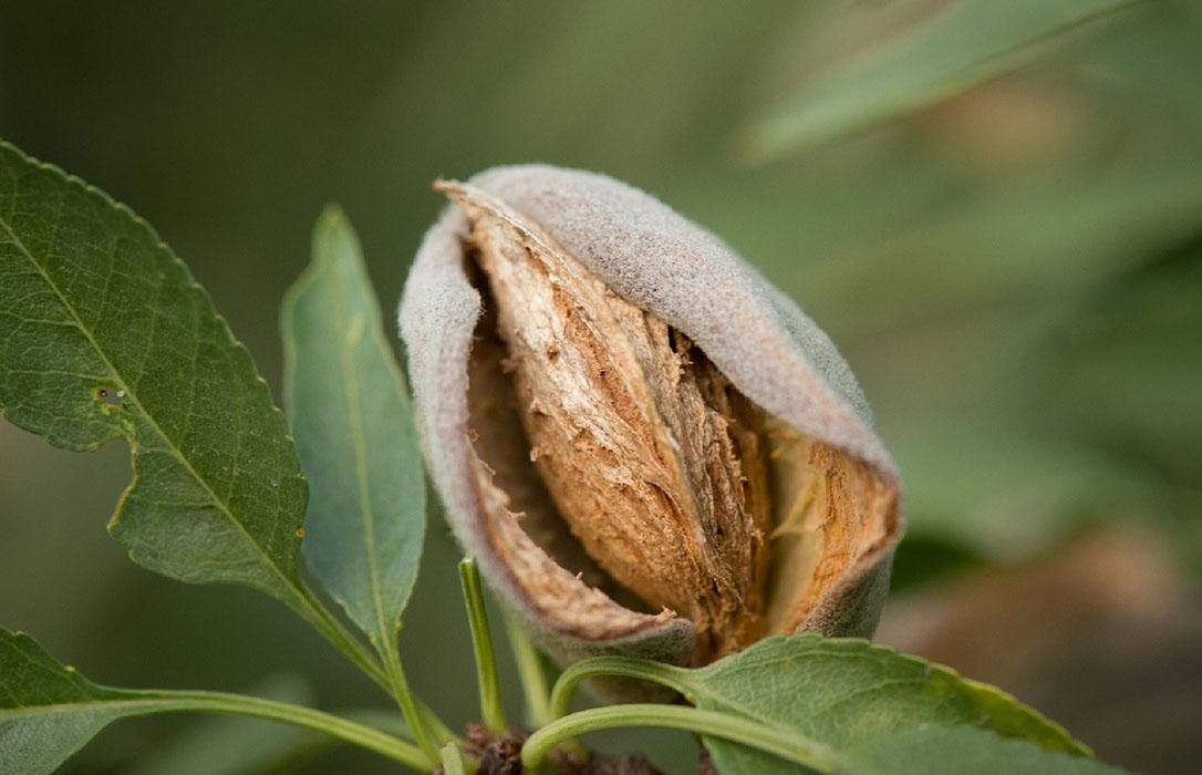 Avispilla del almendro: Soluciones y mejoras para los apicultores y productores de almendra ecológica