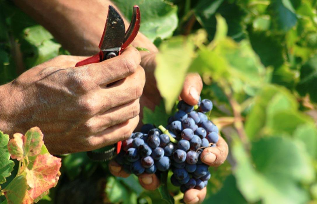 La DOCa Rioja cerrará esta campaña rendimientos diferentes atendiendo al color de la uva