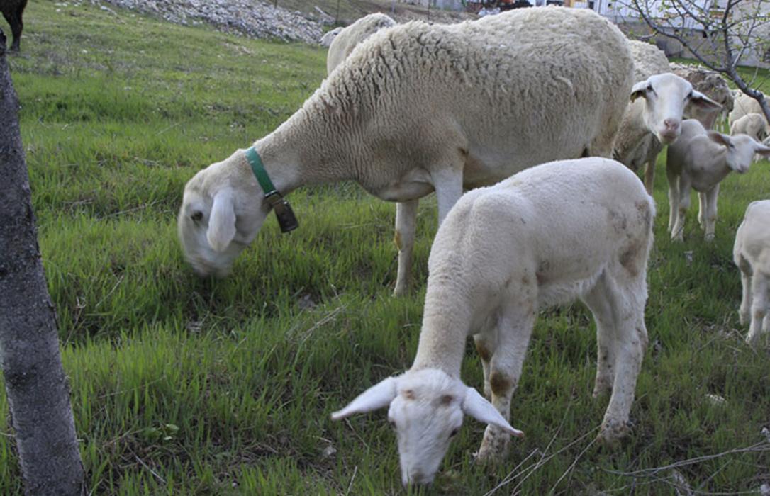 Los ganaderos de ovino abordan en una jornada cómo mejorar la sostenibilidad en sus explotaciones