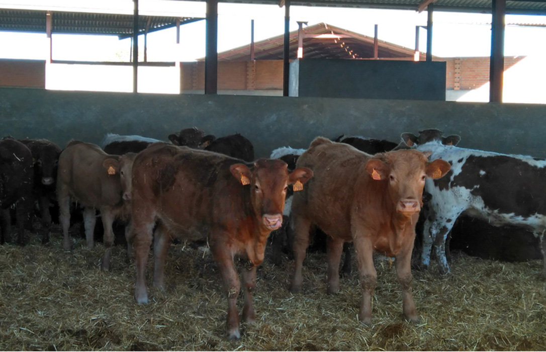 Las ayudas acopladas para el vacuno de cebo oscilarán entre 16 y 61 euros por animal