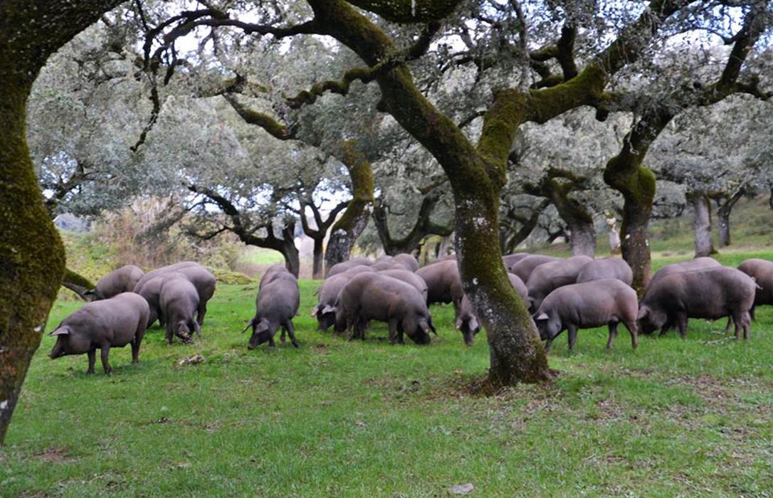 El próximo Gobierno deberá decidir si le quita o no a Aeceriber la gestión del Libro Genealógico del porcino ibérico