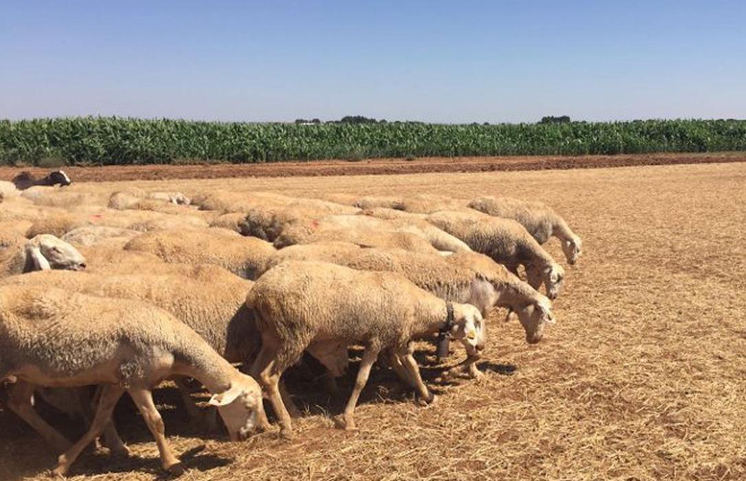 Proponen un etiquetado obligatorio del país de origen en las canales de ovino, caprino, porcino y aves