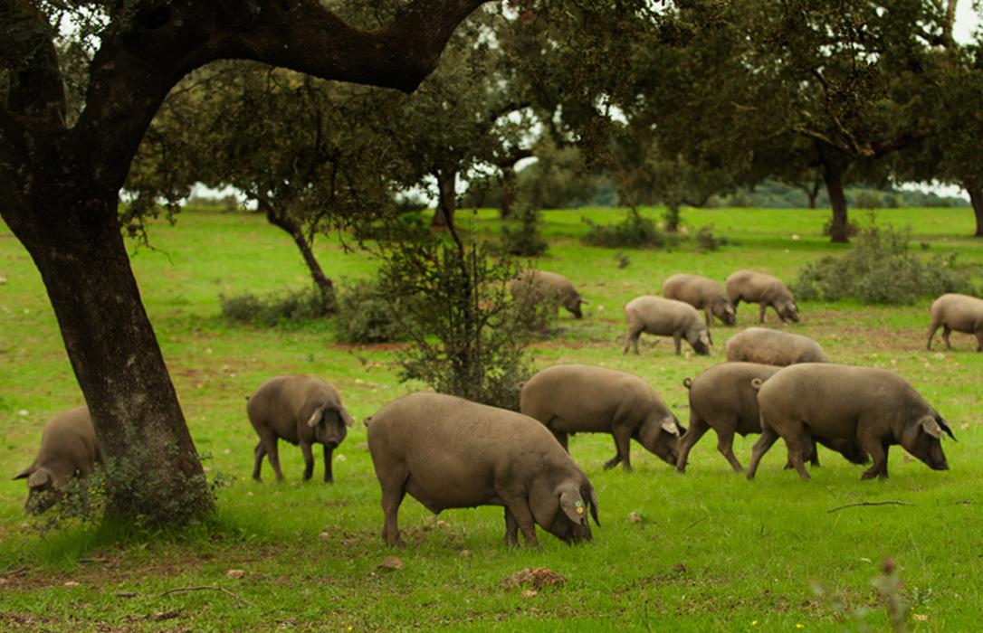 Fedehesa se suma a la defensa de la necesidad de otra PAC para el sector ganadero y de la dehesa
