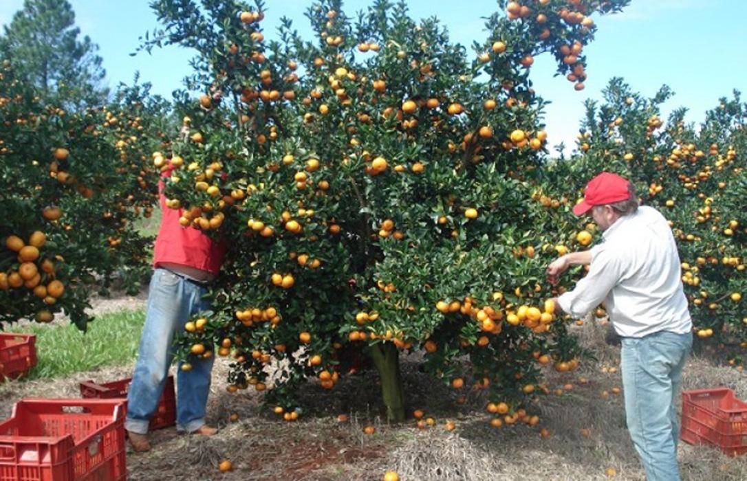 Planas ofrece avales de créditos y rebaja fiscal a los citricultores para el futuro, pero no para esta campaña