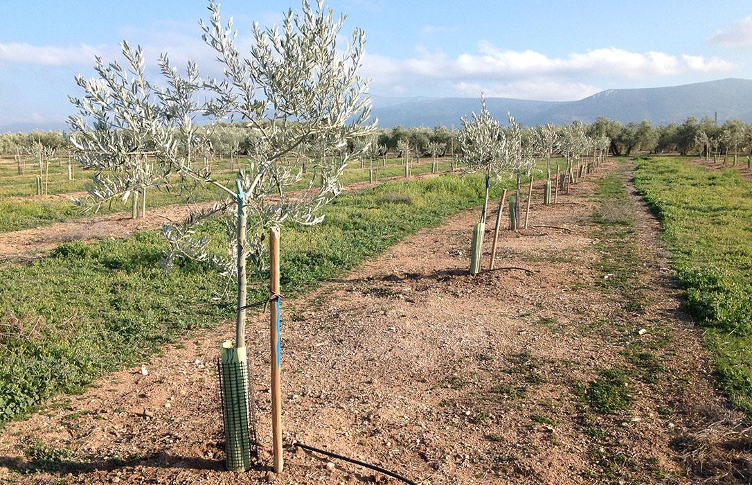 Feragua respalda a la CH Guadalquivir en su aprobación de riegos extraordinarios para 15.000 hectáreas de olivar