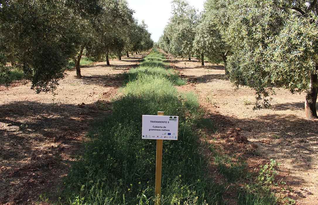 El proyecto innovador CUVrEN_Olivar demuestra los beneficios de la implantación de cubiertas vegetales de especies nativas en olivar