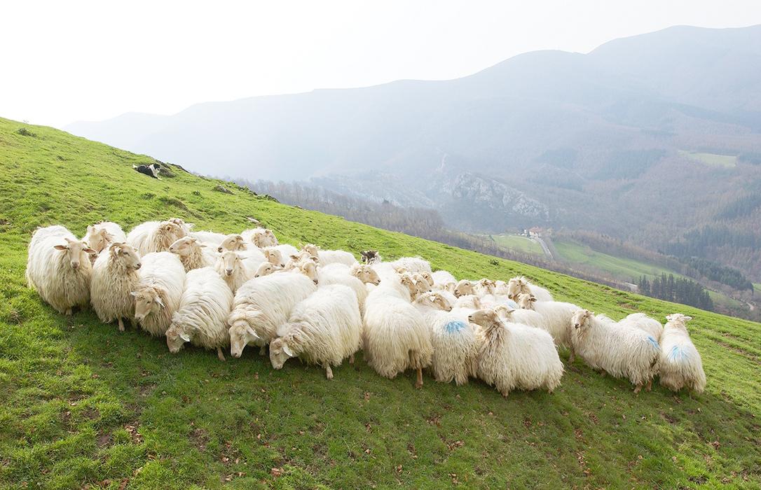 Estudian cómo identificar las mejores ubres de las razas de ovejas lecheras Latxa, Manech y Basco-Bearnesa