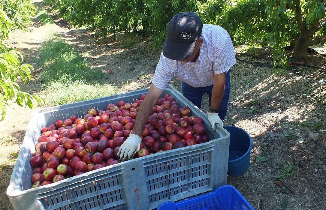 Comienza el plazo para notificar las retiradas del mercado de la fruta de hueso