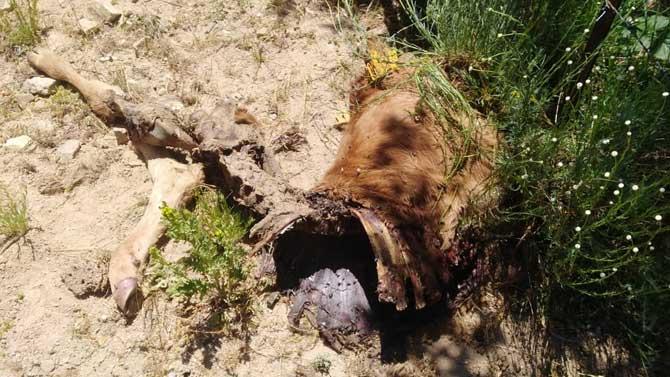 Ataques de lobos y buitres al ganado: Ávila se convierte en un merendero animal