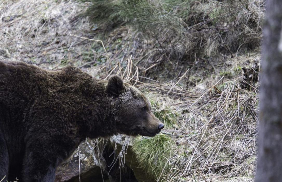 Ganaderos de Cataluña, La Rioja, Aragón y Navarra se unen para denunciar los ataques de lobos y osos al extensivo