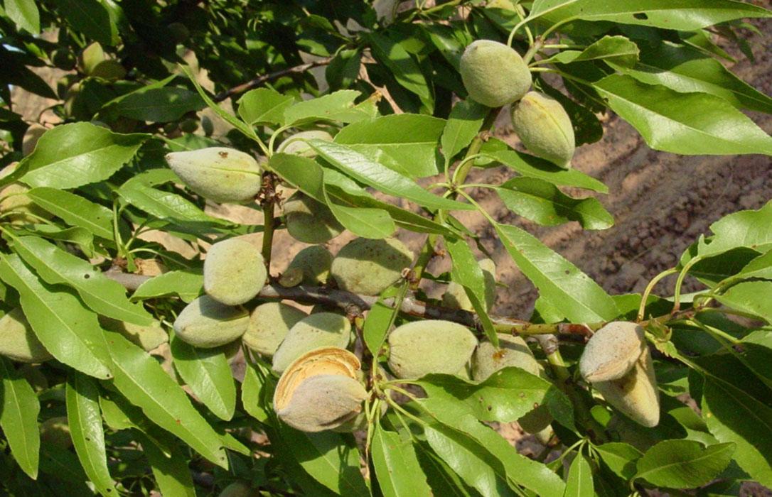 El precio de la almendra sigue imparable, con subidas de hasta 20 céntimos en todas las variedades