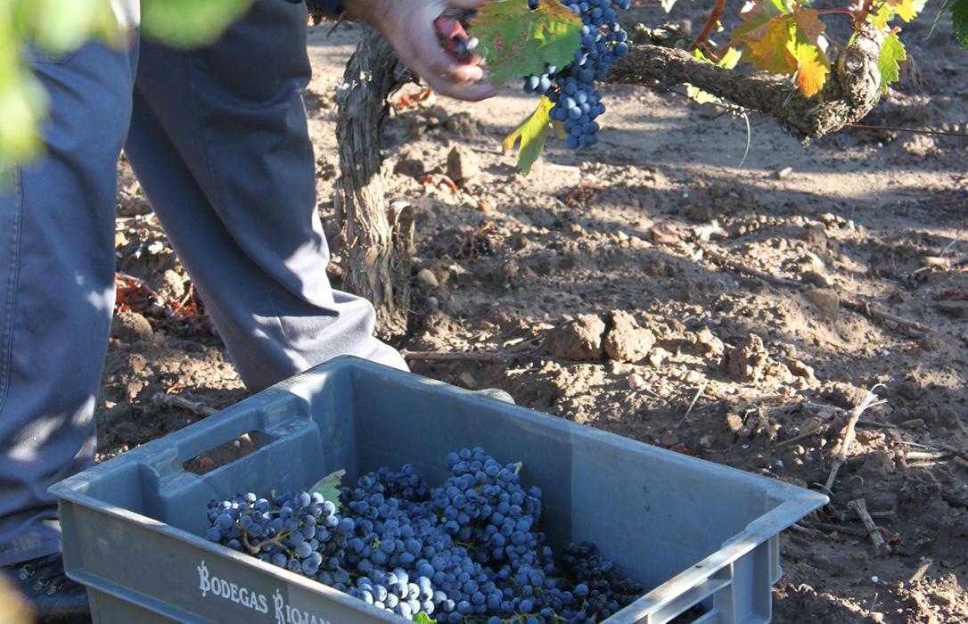 Denuncian el cambio unilateral, a la baja, de los contratos de compraventa de vino firmado hace unos meses