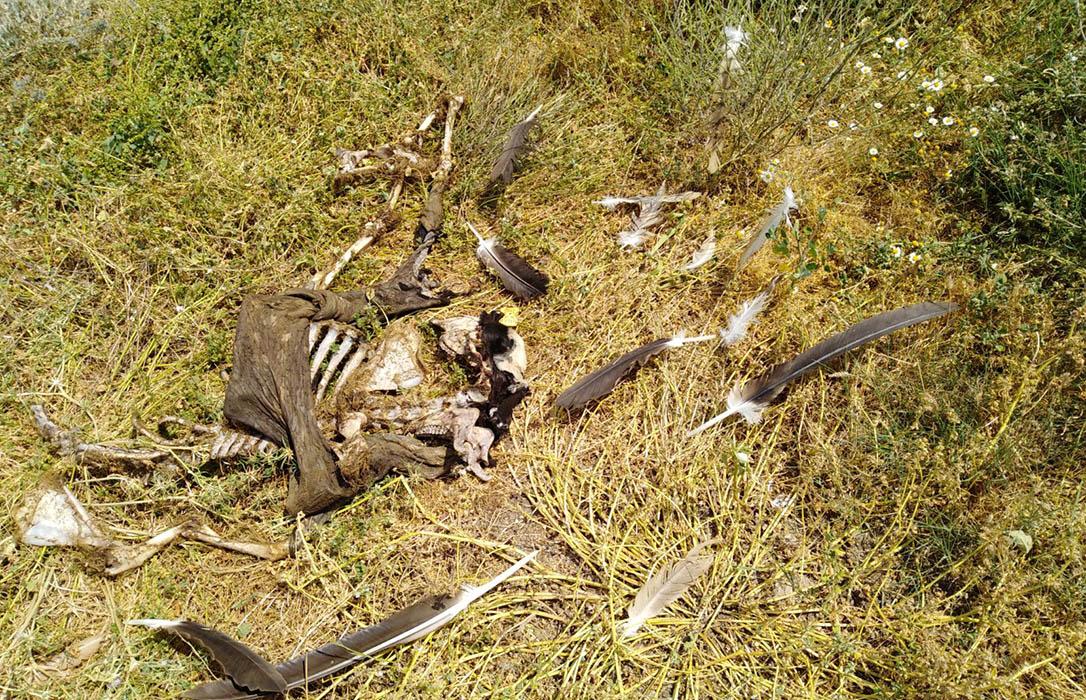Una bandada de 150 buitres deja en los huesos a un ternero de unos 15 días en Salamanca