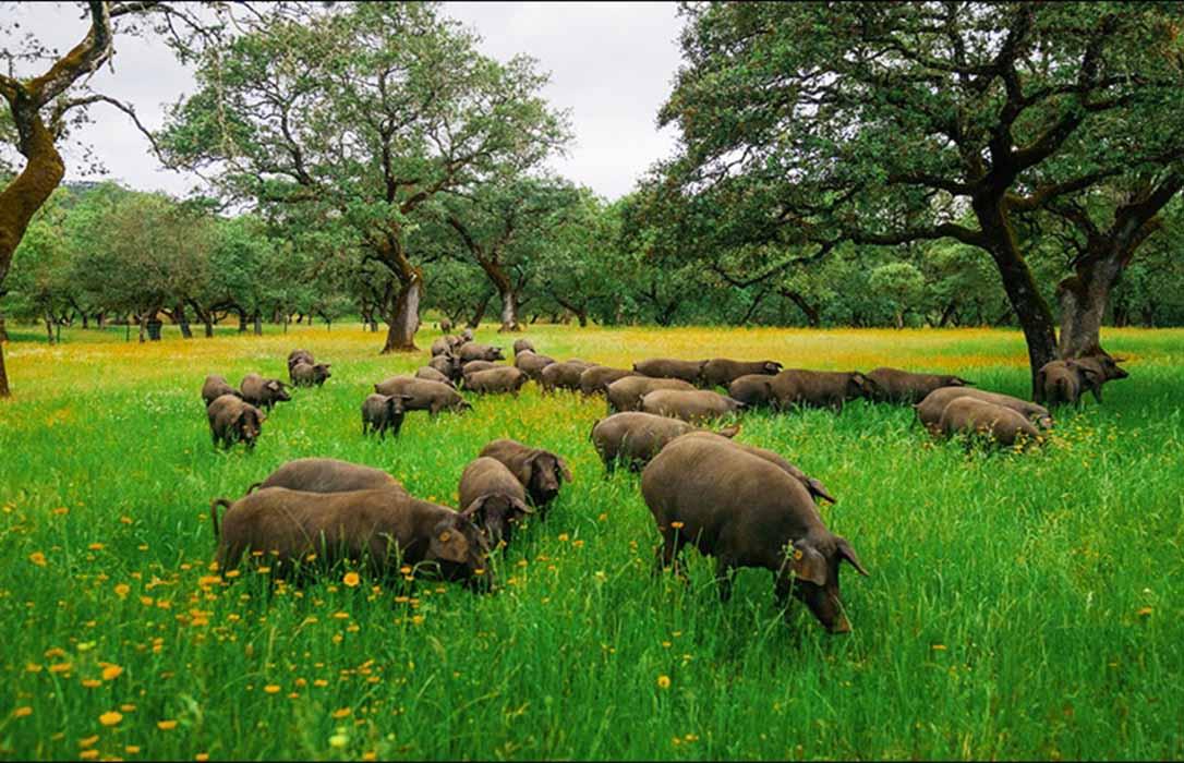 Fedehesa plantea la salida del cerdo ibérico de bellota de la actual Norma de Calidad del Ibérico