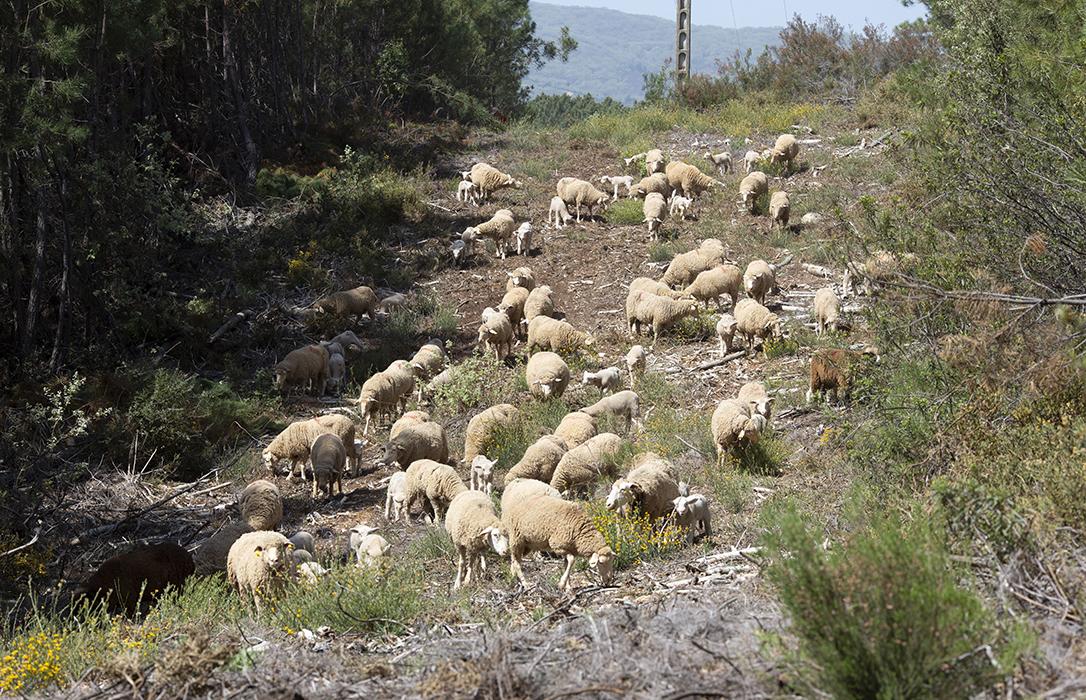2,5 kilos de hierba seca al día: Eso es lo que limpia una oveja pastando en el monte