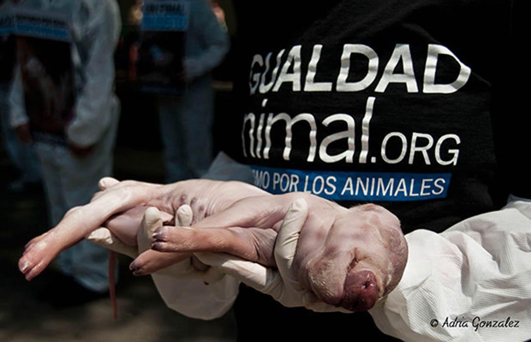 Los Agentes Rurales prevén multas de hasta 100.000 euros ante las ocupaciones animalistas en granjas
