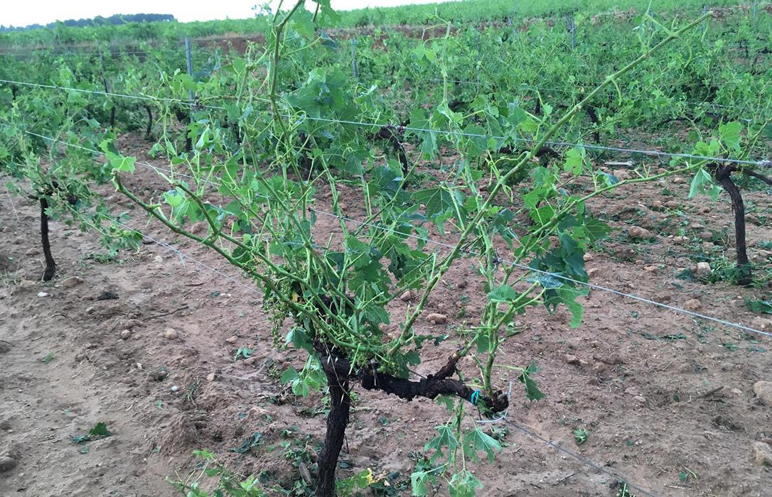 Pérdidas: Llegada de granizo y temor a nuevas tormentas en la zona de Utiel-Requena
