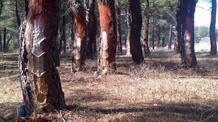 Avanza la creación la Red Europea de Territorios Resineros con el proyecto SustForest Plus