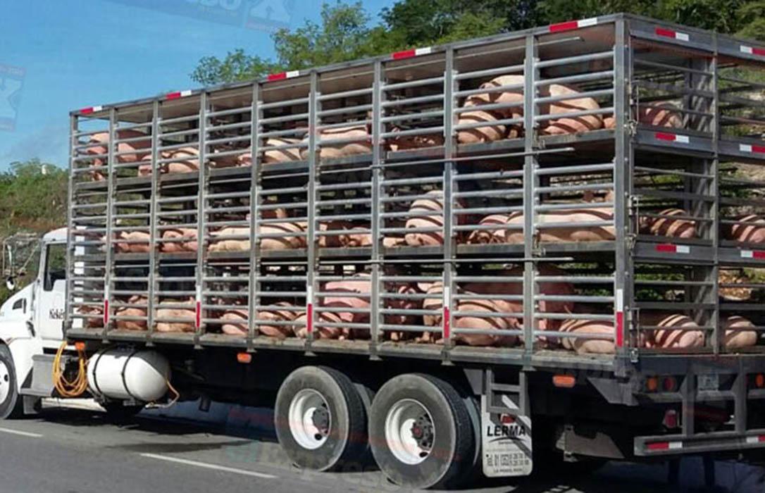 Peste Porcina: Piden al Ministerio intensificar el control de movimiento de animales de la UE