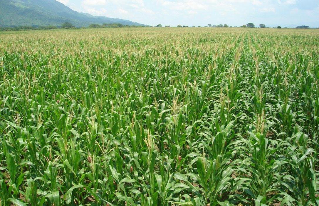 Las tasaciones en los cultivos de regadío de Castilla y León se han realizado conforme a las condiciones del seguro contratado