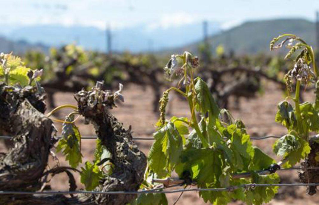 Prevén que la cosecha de uva se reduzca alrededor de un 40% en la provincia de Toledo
