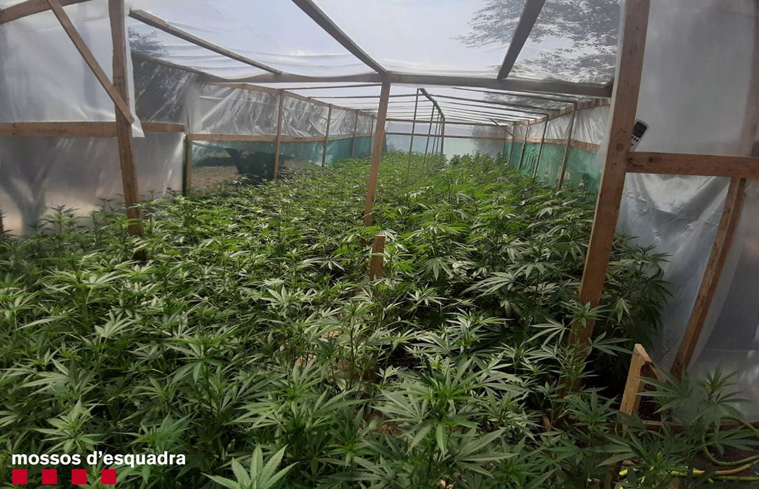 Dos detenidos por cultivar marihuana en dos invernaderos ubicados en sendos olivares