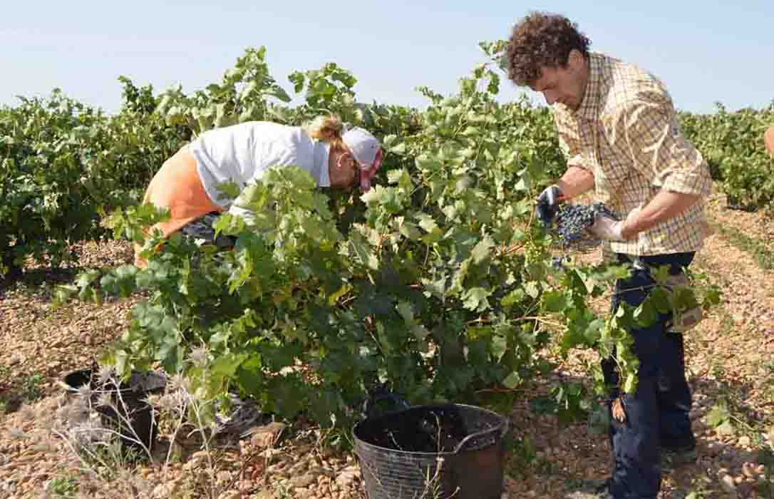 Vendimia en CLM: El precio de la uva debe ser en base a la calidad, los costes y la reducción de la cosecha