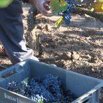 La Rioja publica los costes producción medios de la uva tinta y blanca de la campaña 2019