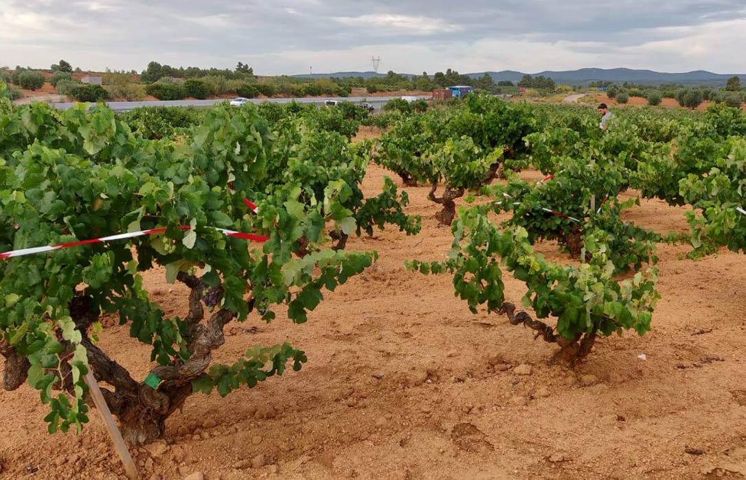 Los temores se confirman: Ya se habla de pagar un tercio menos en el precio de la uva para la DO Cava