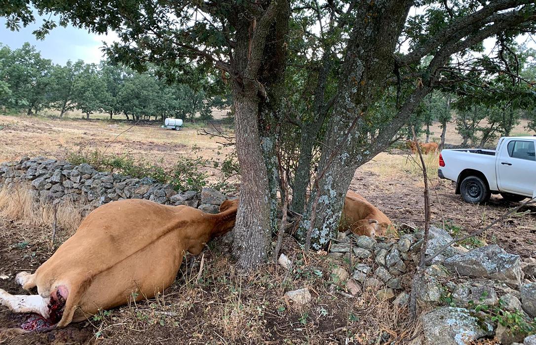 Lo que faltaba a la ganadería abulense: Tras los lobos, los rayos matan ahora varias reses