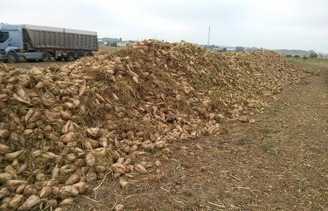 Las ayudas públicas al cultivo de la remolacha corren peligro si Azucarera no acepta negociar otro AMI