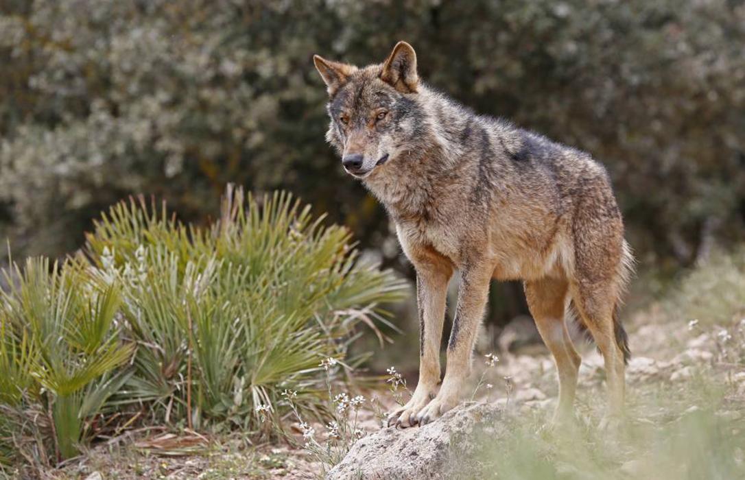 El nuevo plan del lobo de Asturias incluye controles de población para reducir los ataques