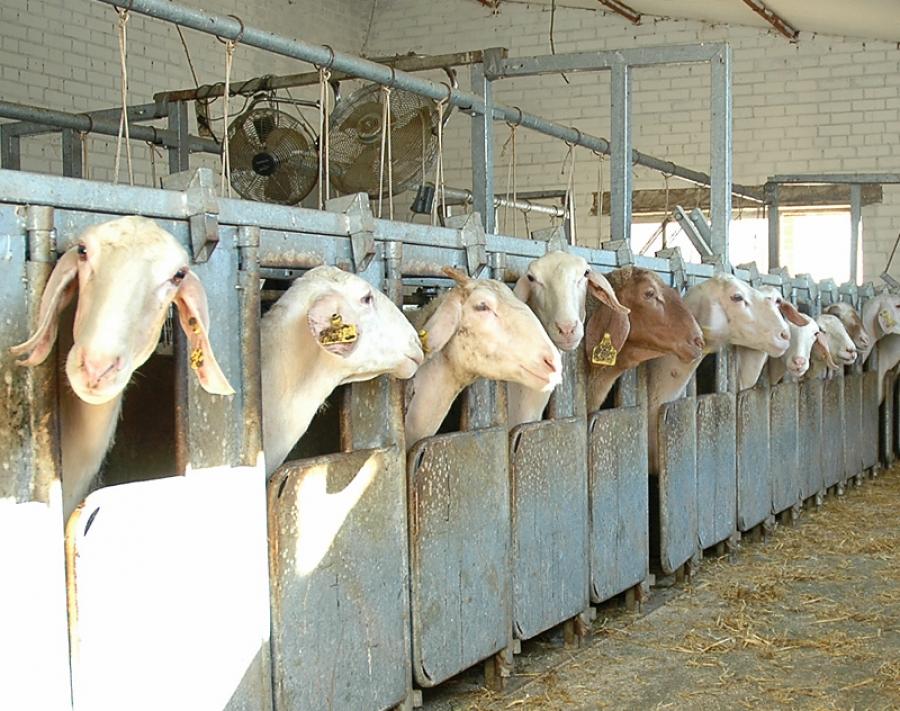 El bajo precio de la leche de ovino provoca que abandonen otras 130 explotaciones en CyL en el último año