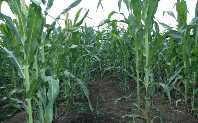 La lluvia ralentiza la cosecha de maíz en León después de que se adelantara por la sequía