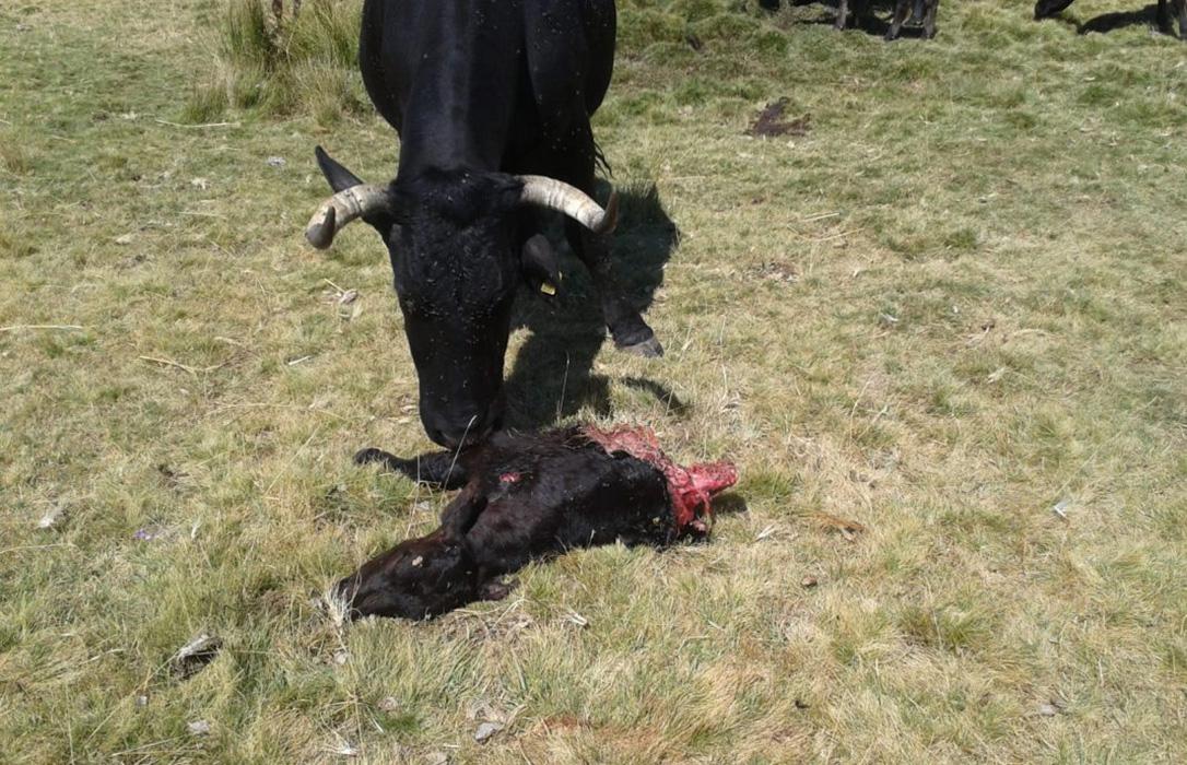 Alertan sobre los incesantes ataques del lobo en Sobradillo con un ternero muerto
