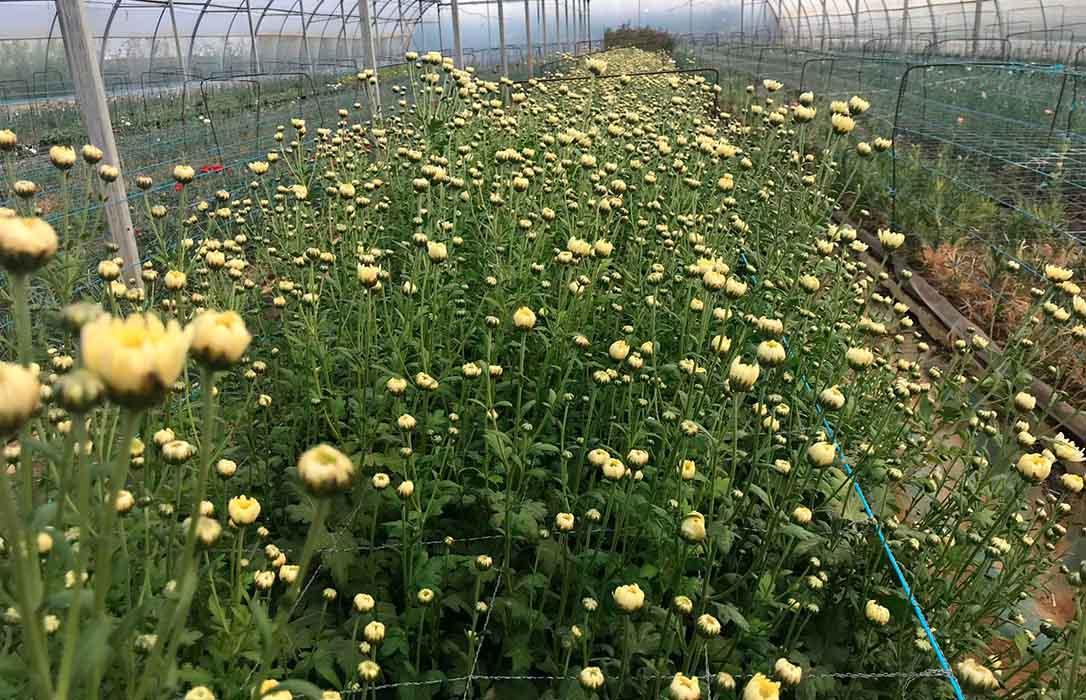Cuando comprar flores para Todos los Santos es un apoyo a los agricultores ante una campaña corta en producción y precio