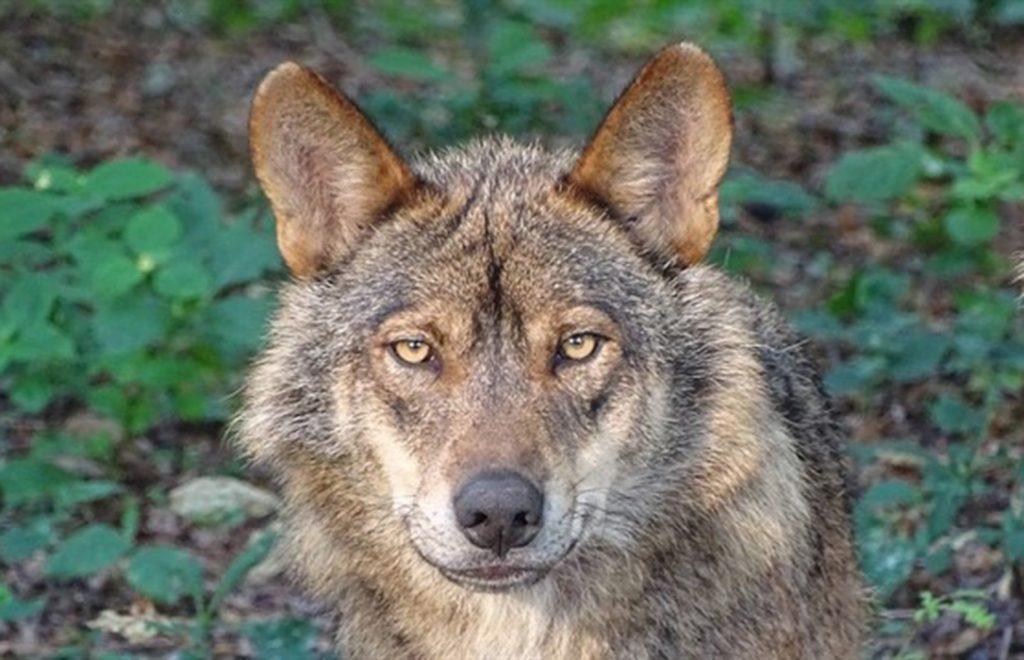 Los ganaderos abulenses, desesperados por los ataques de lobos y al sentire abandonados por la administración