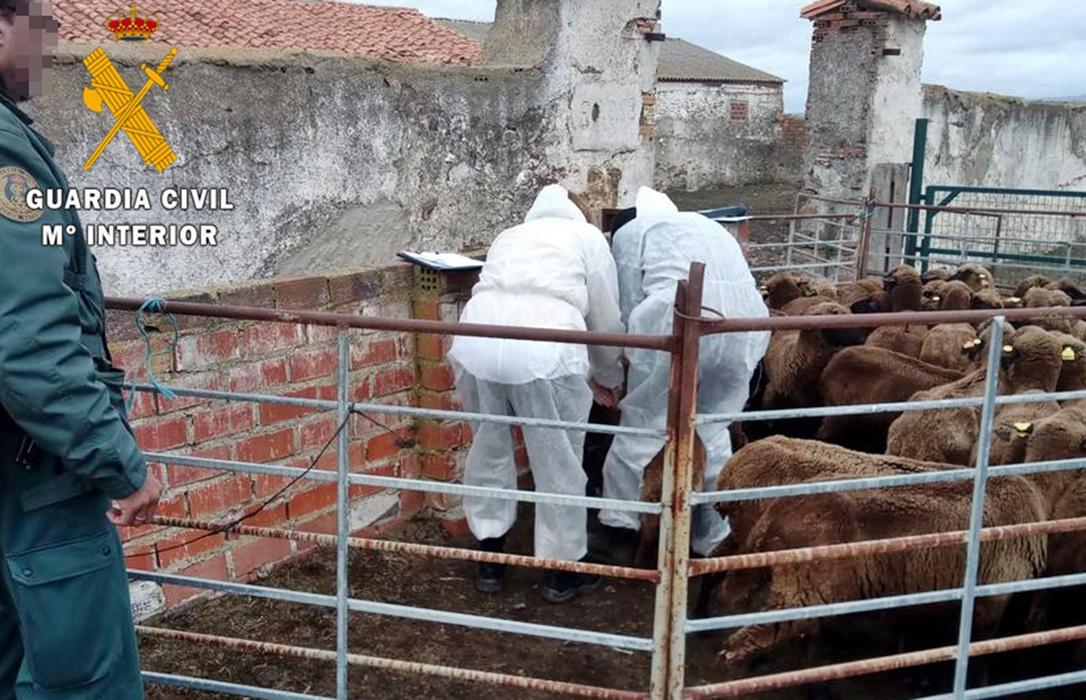 El Seprona investiga por maltrato animal a un ganadero que recibió varios premios por recuperar razas autóctonas