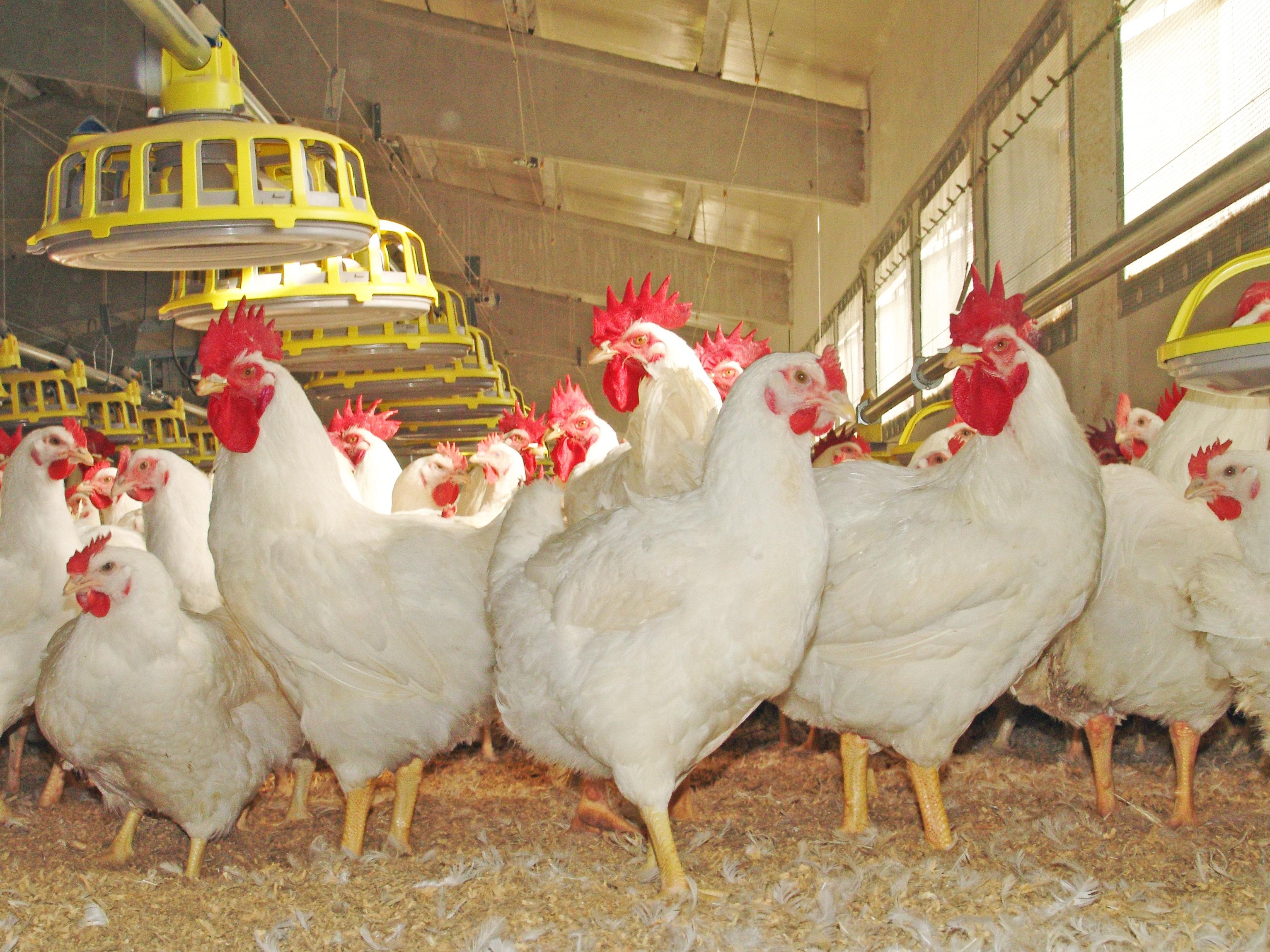 En marcha el centro de referencia para el bienestar de las aves de corral y otros animales pequeños de granja
