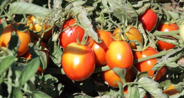 Denuncia ante Competencia al Grupo Conesa, que pagará el tomate a menos de la mitad de lo que lo venderá