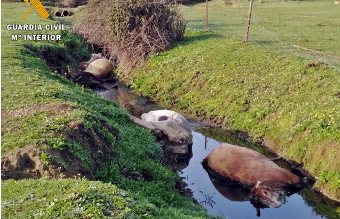 El Seprona investiga a tres ganaderos tras hallar 14 vacas muertas y 46 desnutridas en su explotación ganadera