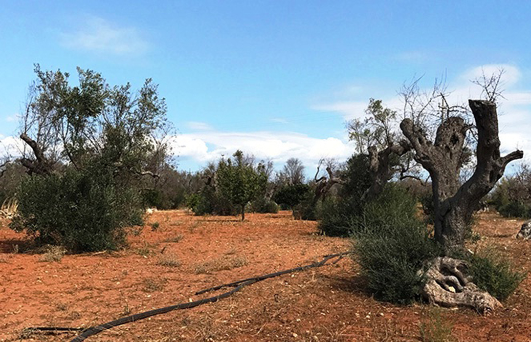 El proyecto LIFE Resilience intensifica su trabajo para lograr olivares más resilientes contra la Xylella