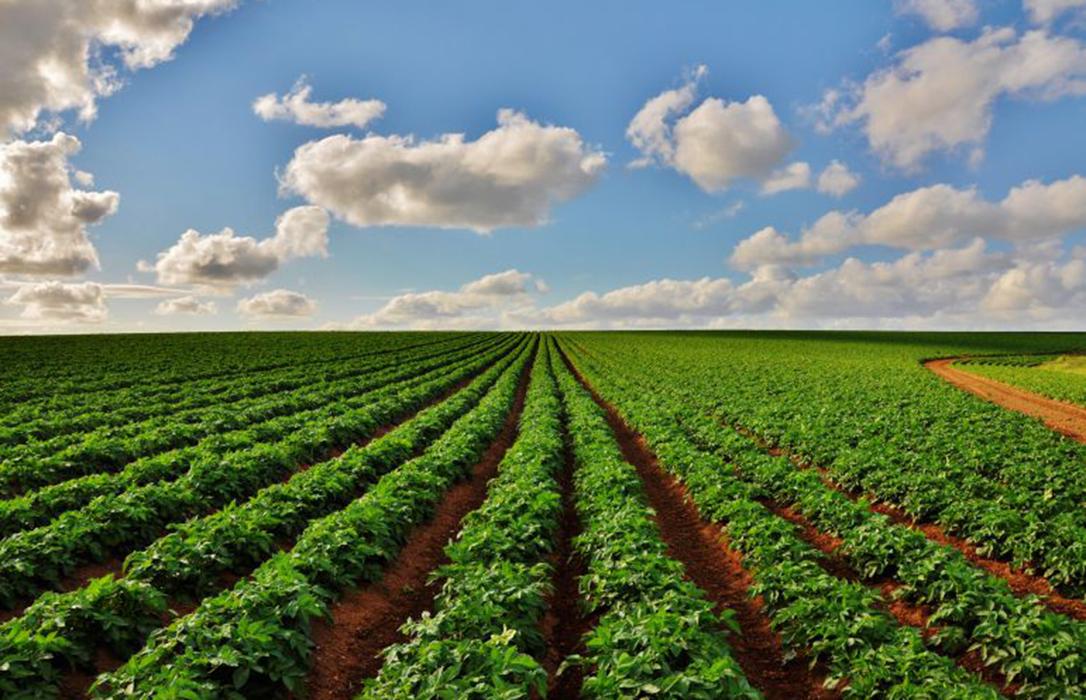 La superficie de siembra de patata nueva sube un 10% pero preocupan los precios por la patata francesa