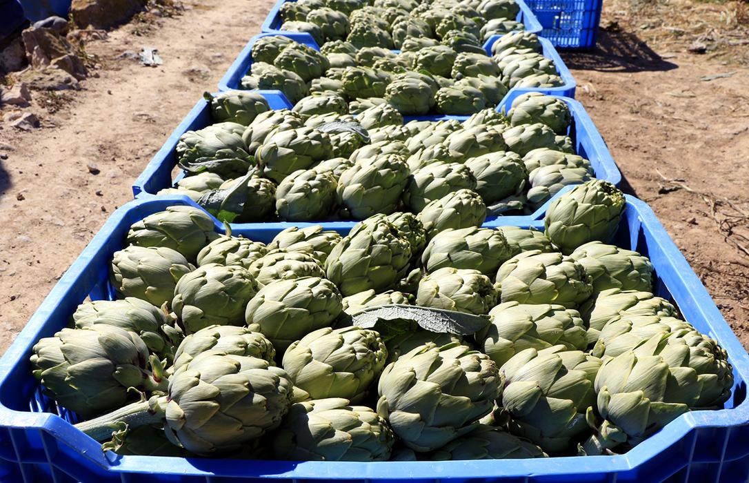 Estrategia de abonado para aumentar la producción y la calidad de la alcachofa