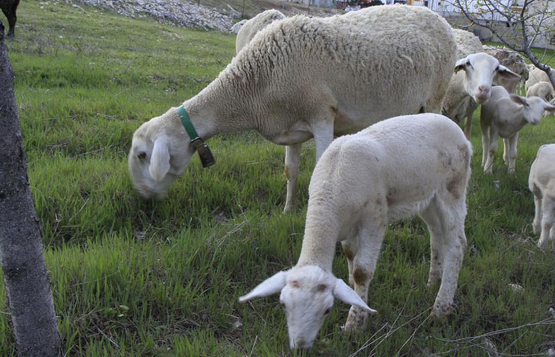 Enfado porque las ayudas andaluzas al extensivo dejan fuera a los pequeños y medianos ganaderos de ovino y caprino